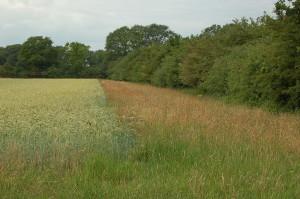 raanveld met graskruidenrand, foto ML